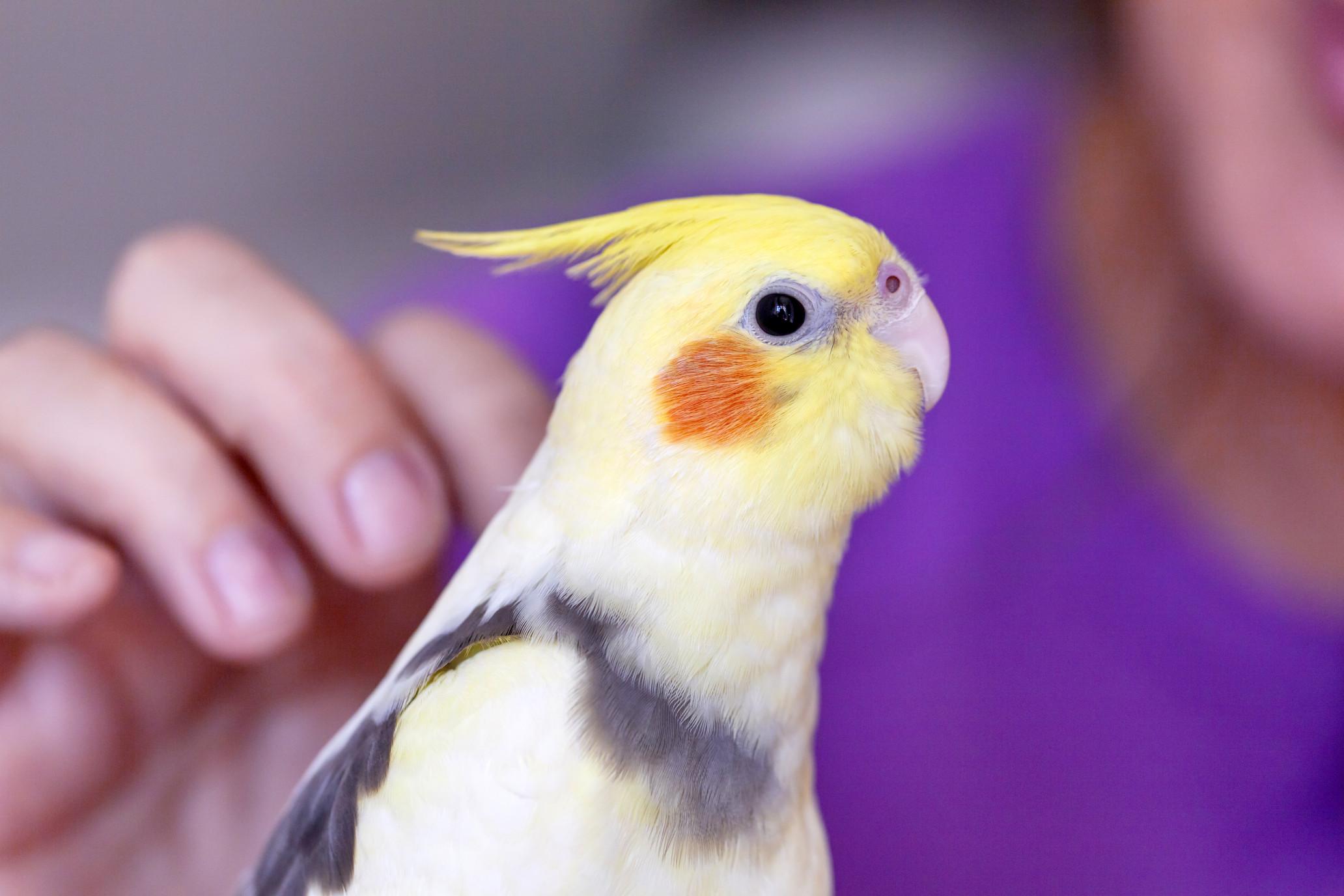 yellow-parrot
